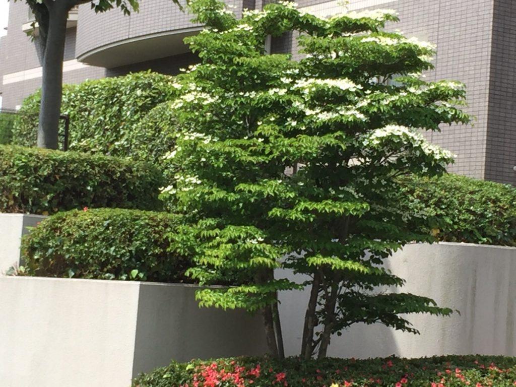 ヤマボウシの画像 p1_39