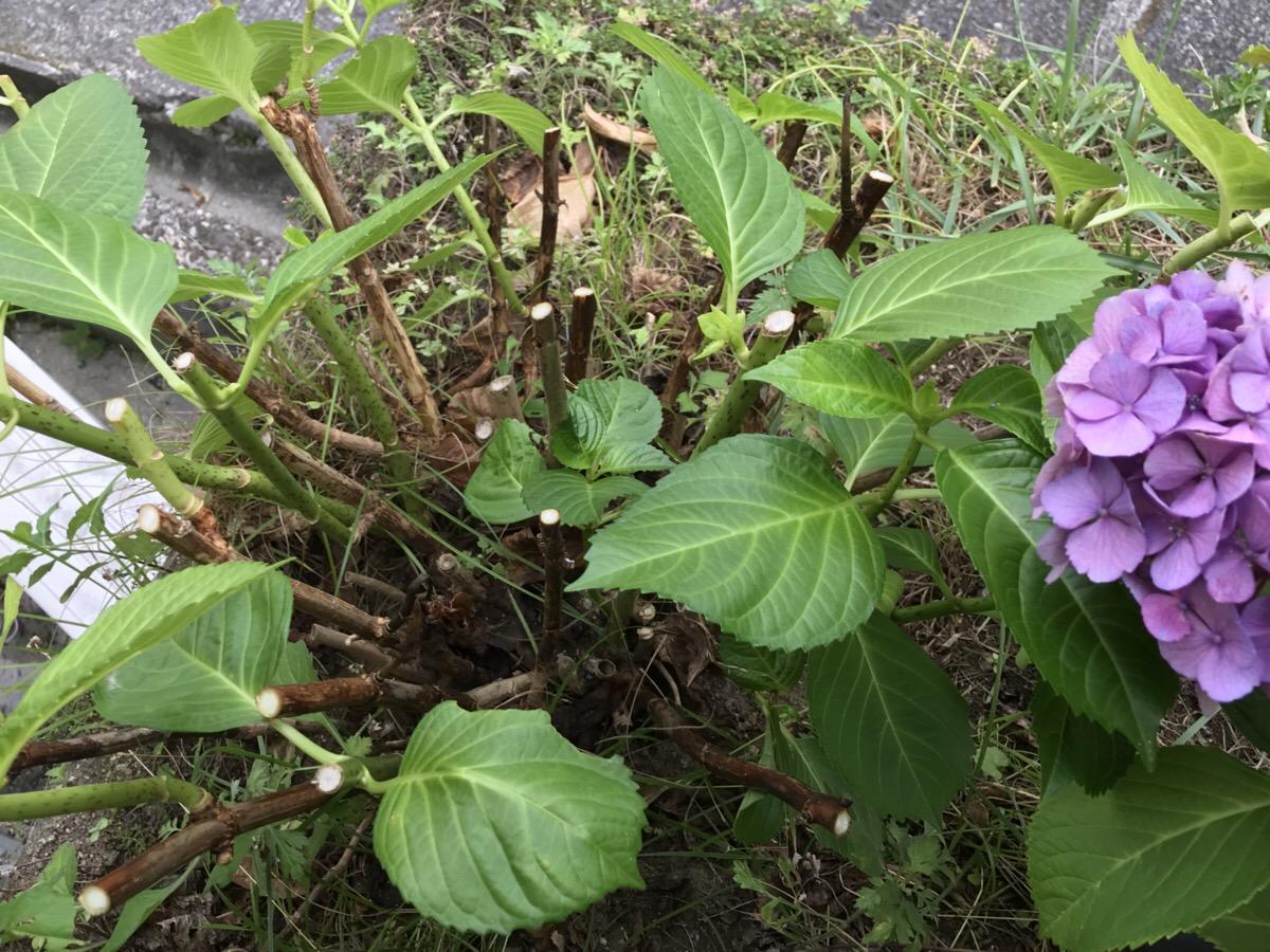 の 剪定 時期 紫陽花