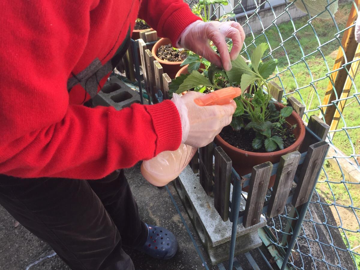 鉢植えのイチゴの育て方 まとめ