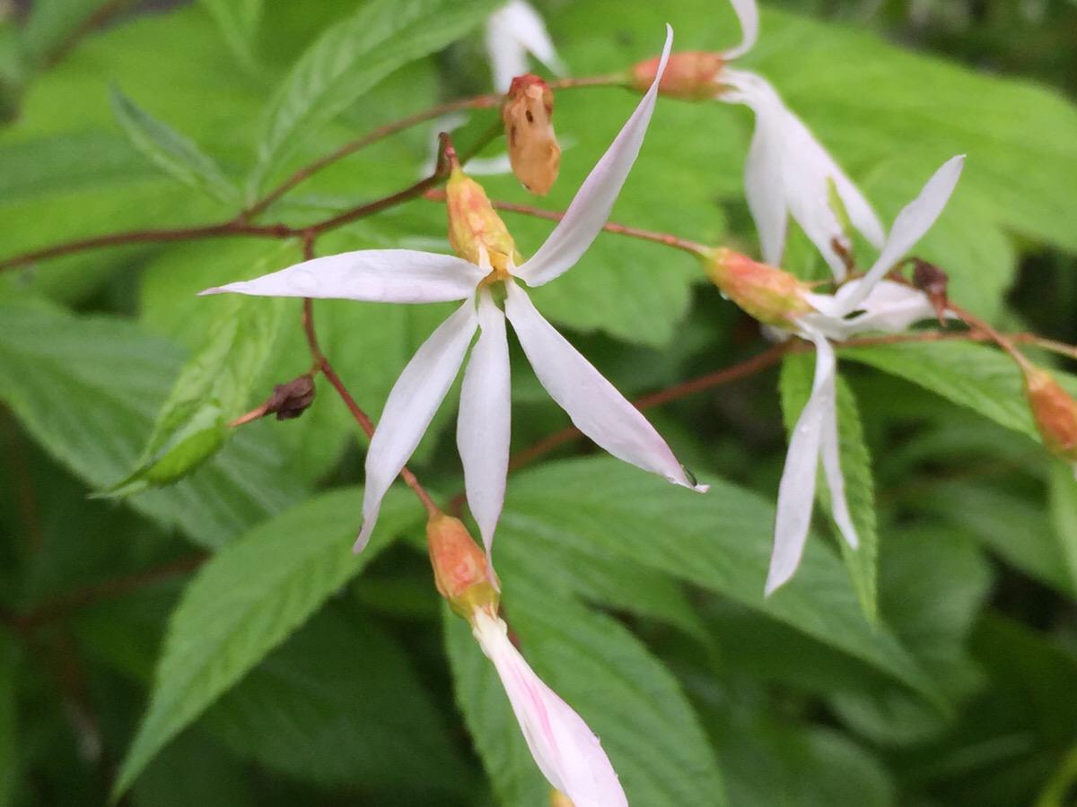 ミツバシモツケの栽培 自然流の花壇めざして