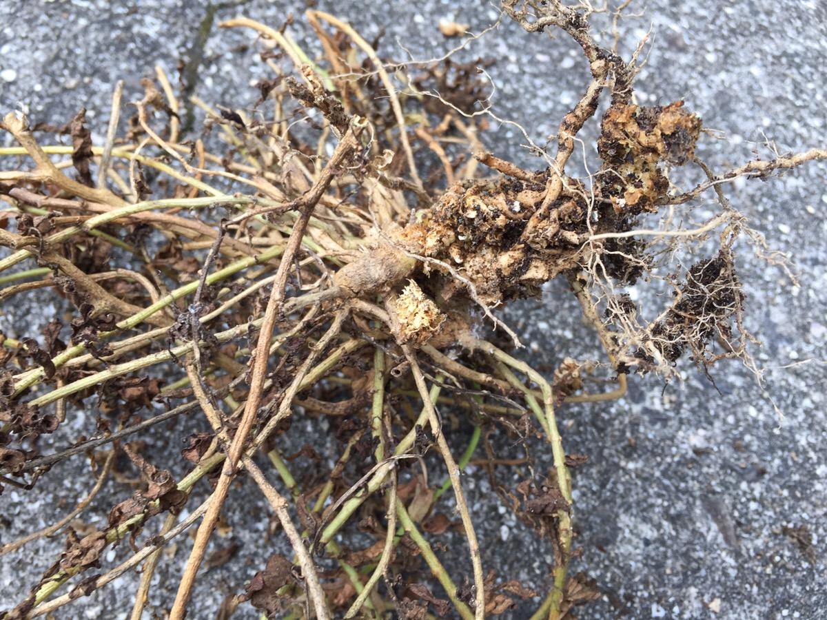 鉢植えペチュニアがネコブセンチュウの被害にあって