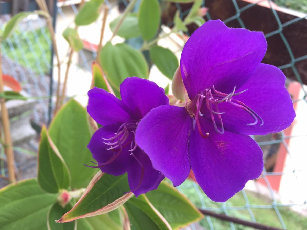 シコンノボタンの冬越しに成功して、花が咲き始めました