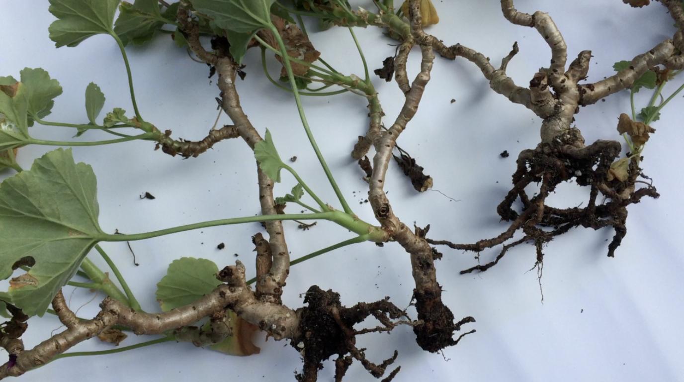食害されたゼラニウムの緊急植え替えと簡単な挿し木(1ヶ月後)