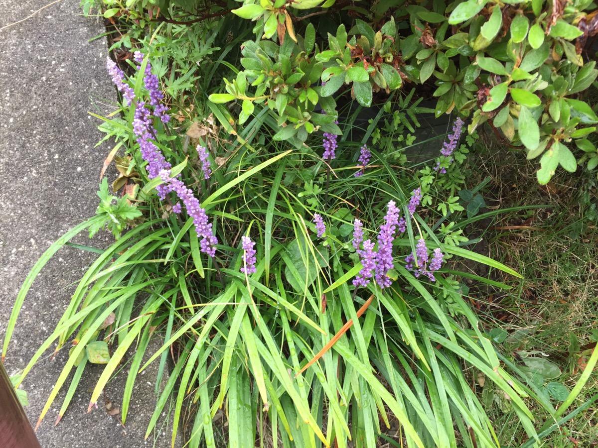 和風の自然な庭に似合う植物(8~9 月)ヤブランとスイショウラン