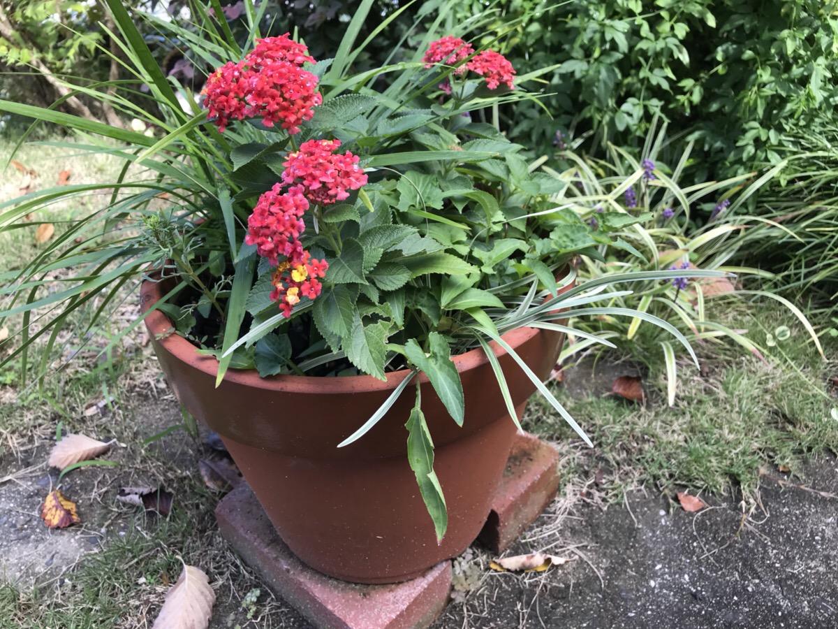 ランタナを鉢植えで育てています