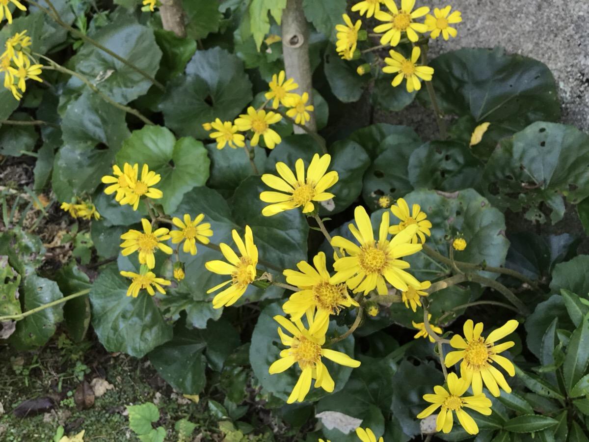 和風の自然な庭に似合う植物 ツワブキの庭での使い方と7つのおすすめポイント