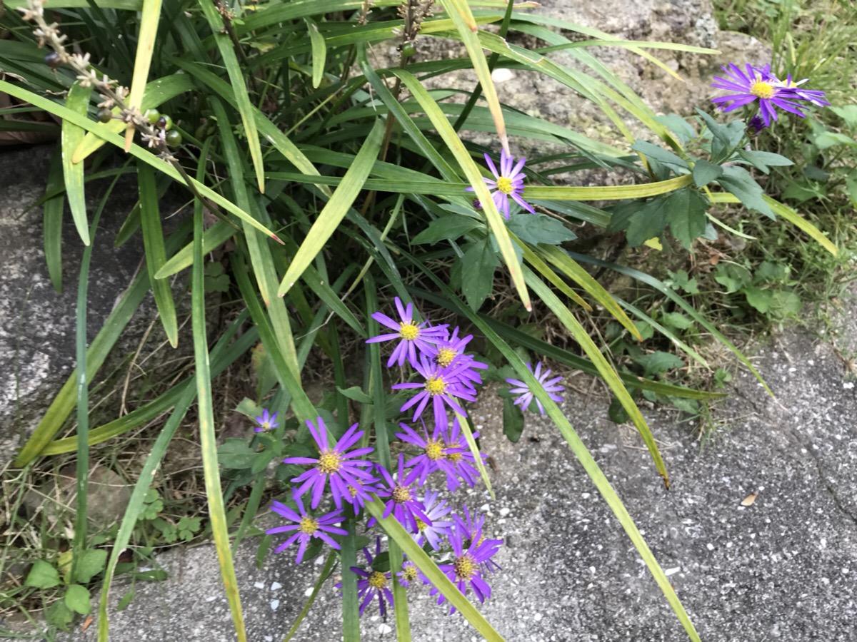 庭に咲く野菊の花の種類を調べてみました