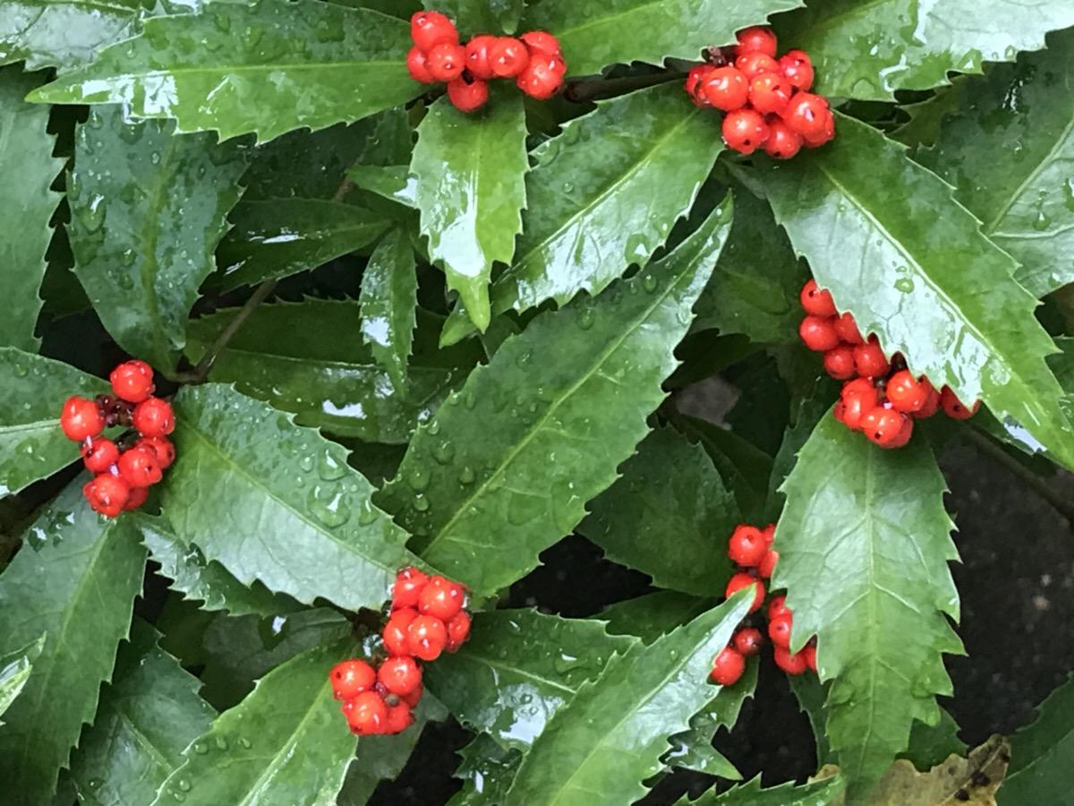 万両 千両 十両の見分け方 和風の自然な庭に似合う植物(12月)です