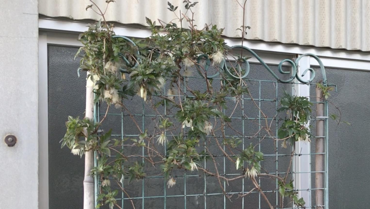 冬咲きクレマチス シルホサ 春の切り戻し(強剪定)をしました