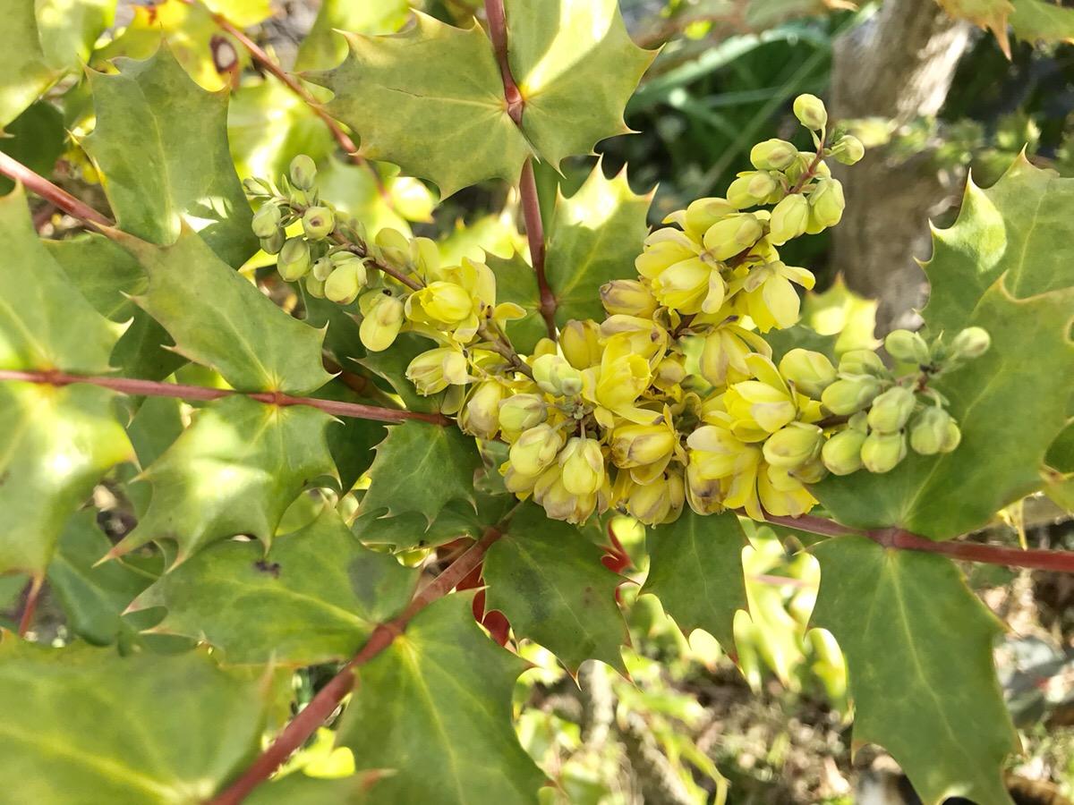 和風の自然な庭に似合う植物(3月)ヒイラギナンテンの花と育て方で気をつける点