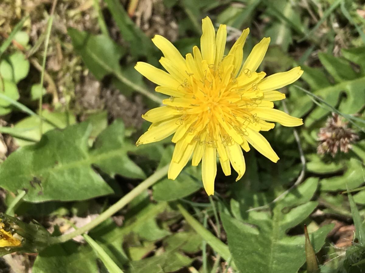 タンポポの在来種 白と黄色の花を探してみたら