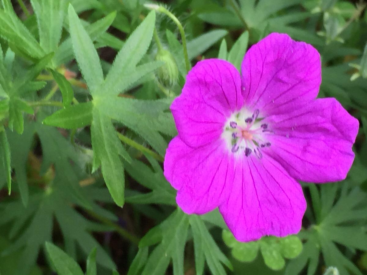 アケボノフウロを育てて 自然な花壇づくりが進行中