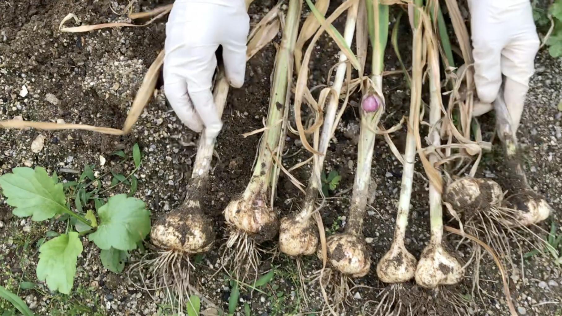 ニンニク栽培 初めての収穫と保存