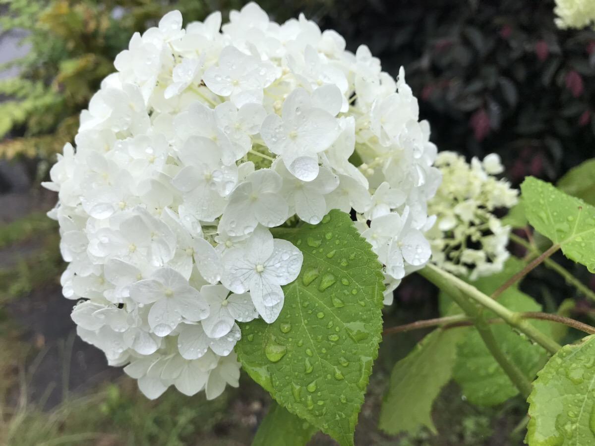 アナベル の育て方( 鉢植え)と アナベルが西洋アジサイより育てやすい点