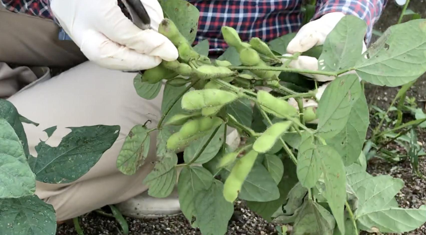 枝豆(エダマメ)の種まきと収穫 少量栽培のコツ