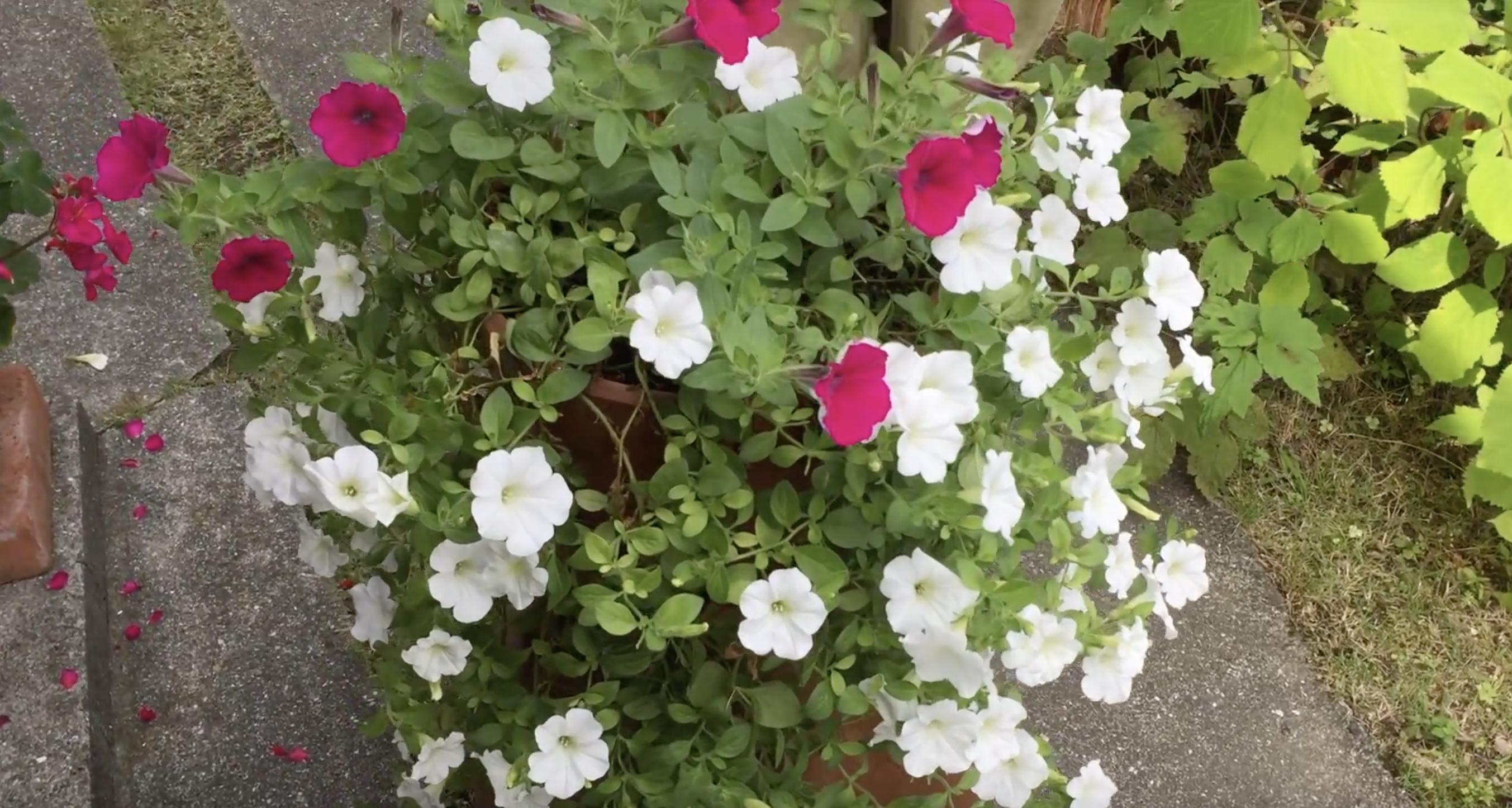 ペチュニアの挿し芽を鉢上げしました 〜ネコブセンチュウの被害から1年〜