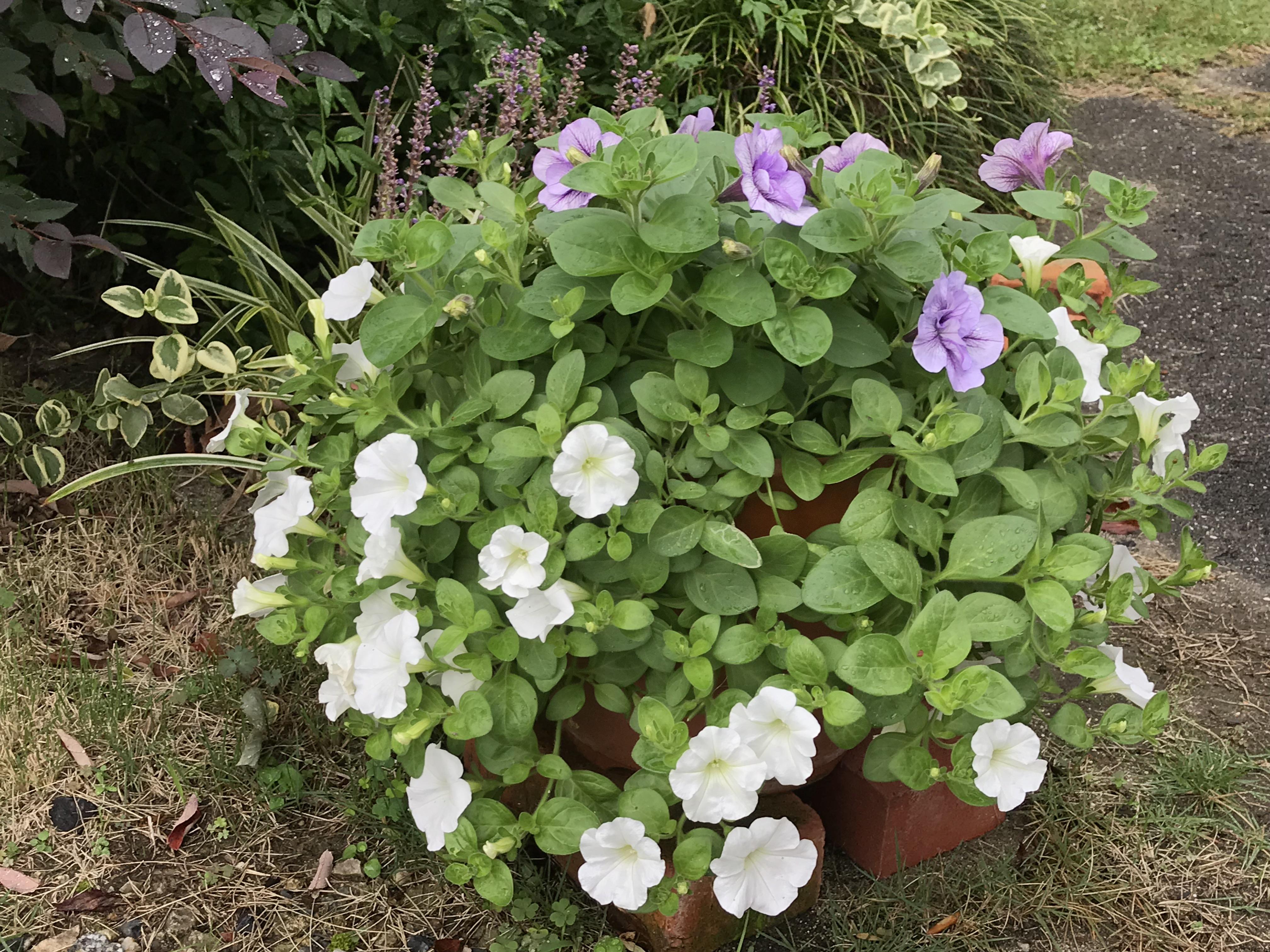 ペチュニア秋の寄せ植えづくり 〜駄温鉢に色違いのペチュニアを植えて〜