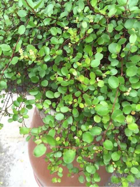 ワイヤープランツを育てて7年目の植え替えと秋に発生したムシ