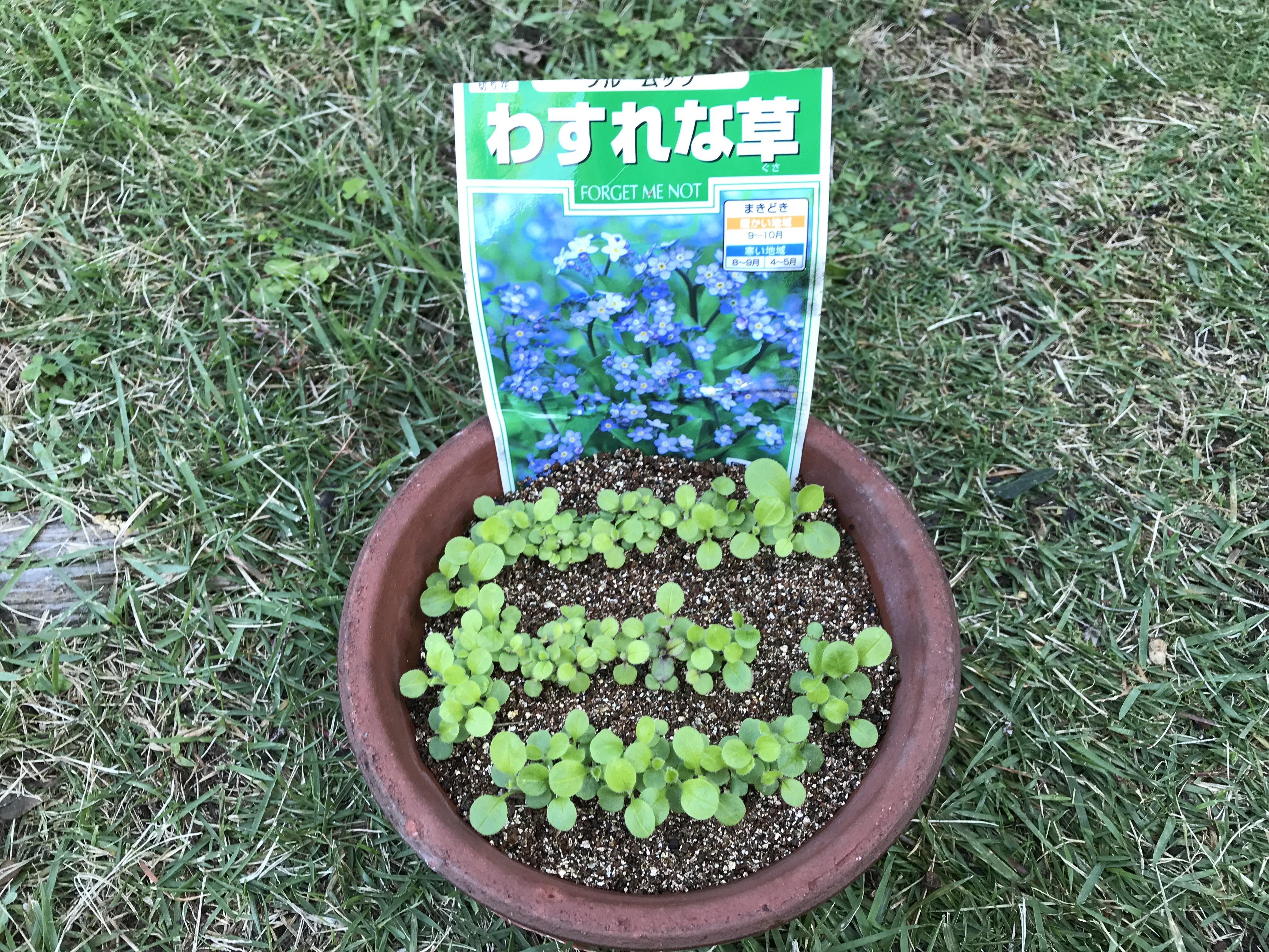 ワスレナグサ ブルームッツの種まきとポット植え