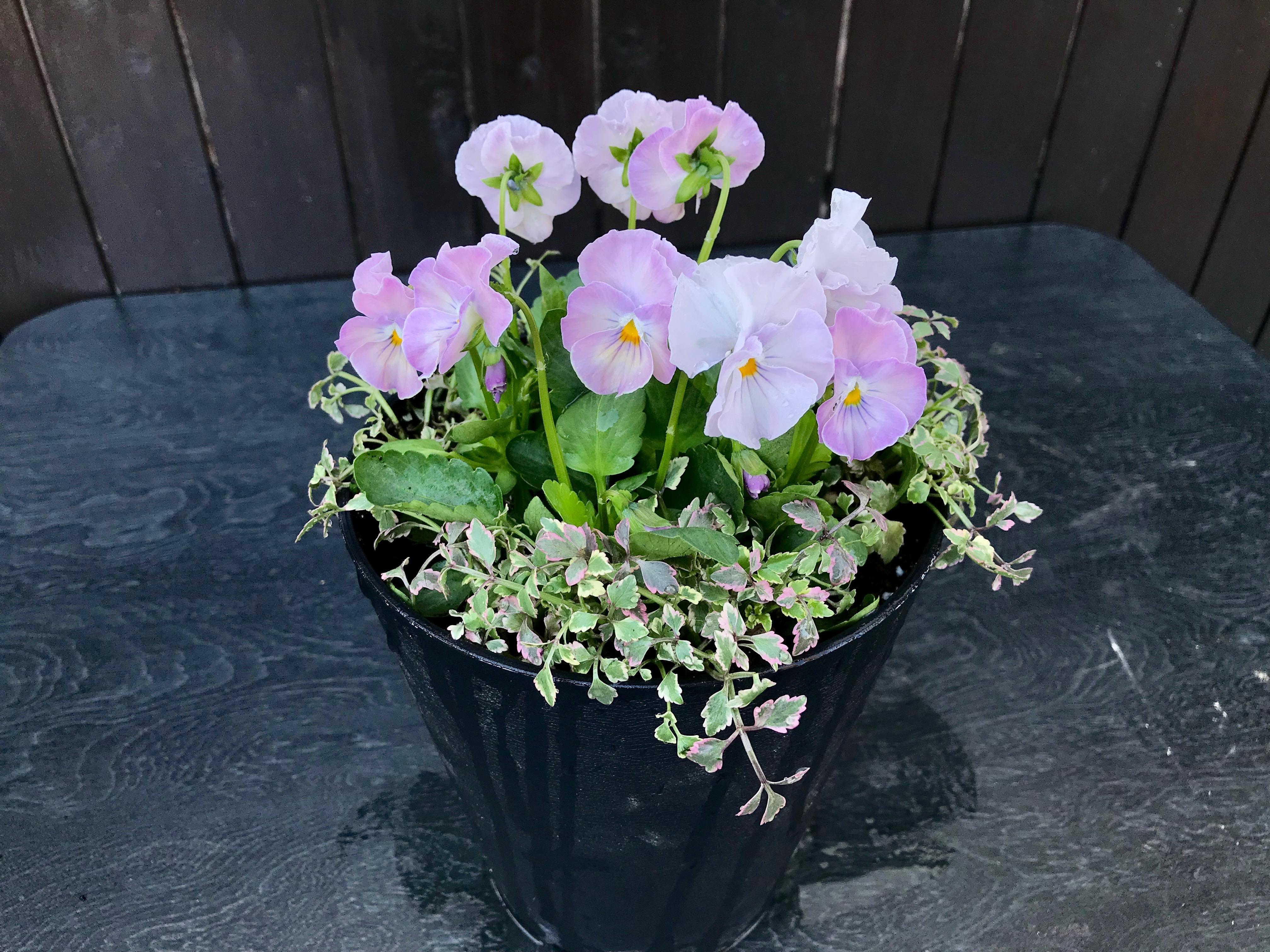 ビオラの寄せ植え 小さな鉢を春まで楽しもう