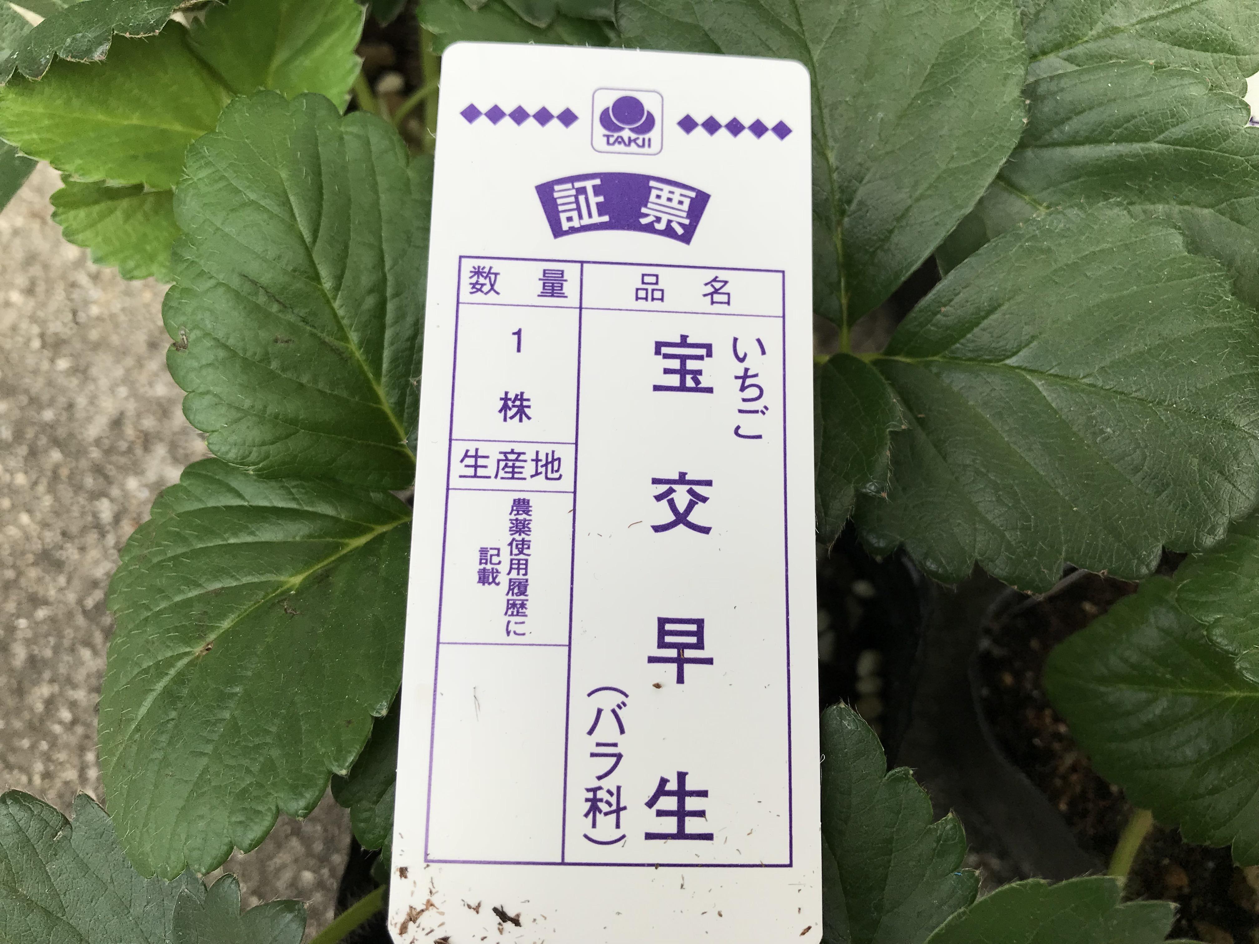 イチゴ苗の植え付け 宝交早生を購入して鉢植えにするまで