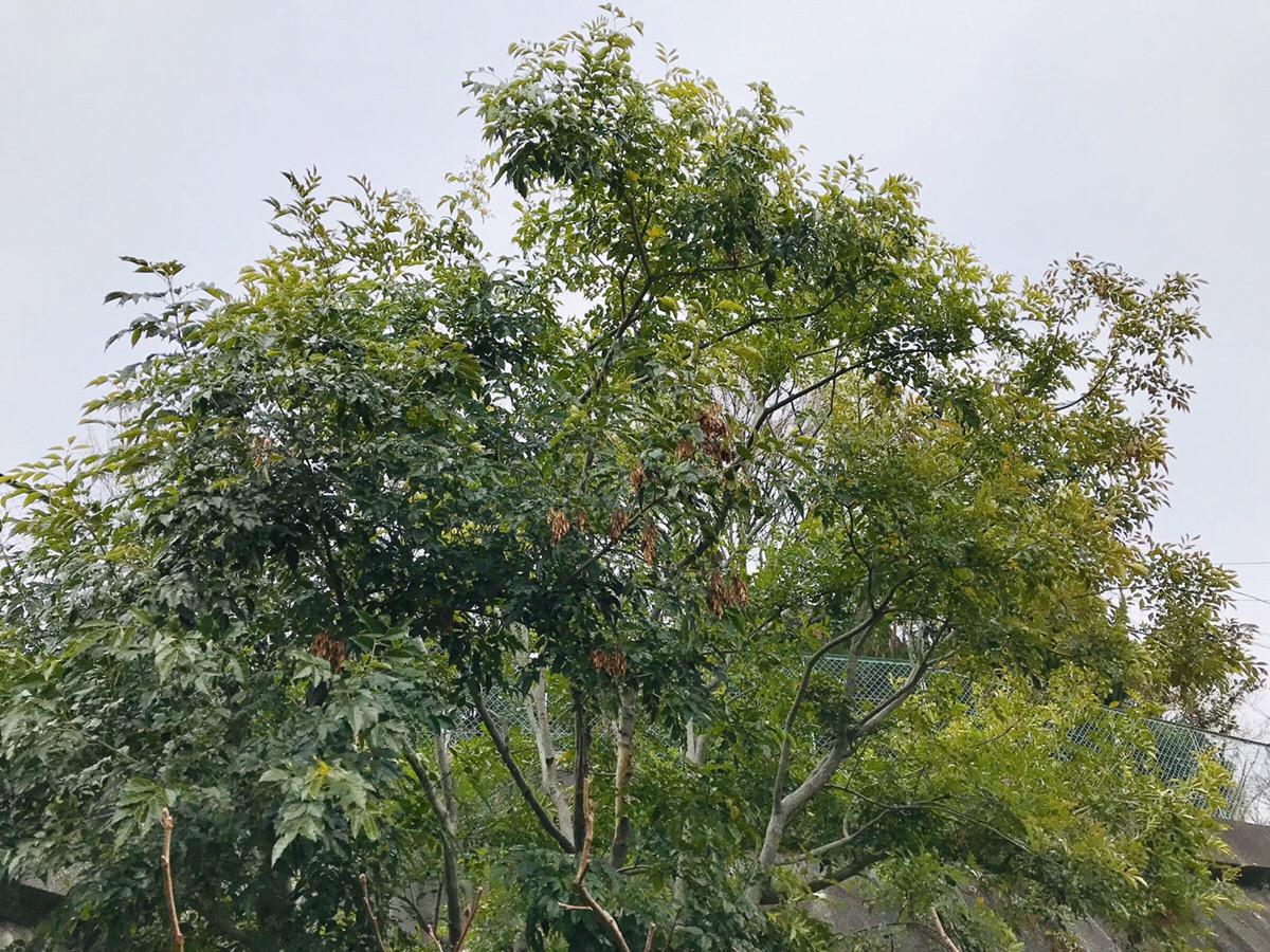 シマトネリコを地植えで育てる前に 知っておきたいその特徴