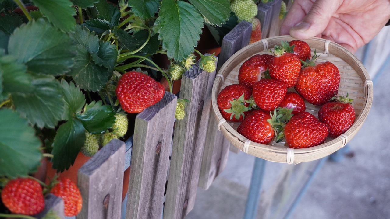 宝交早生という品種のイチゴを初収穫しました