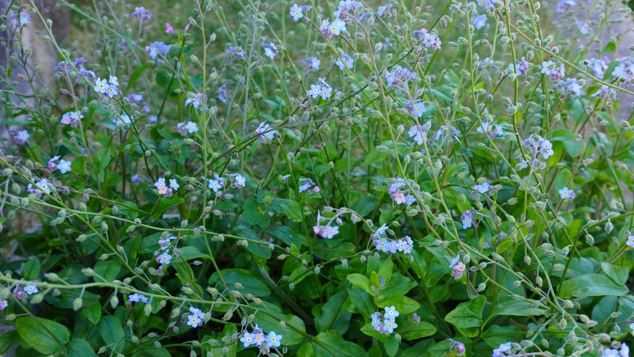 ワスレナグサ ブルームッツは自然風の庭に良く似合う