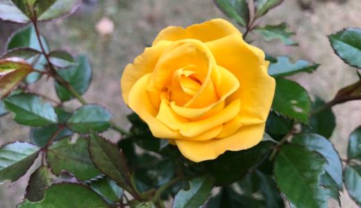 バラの新苗を時期外れの9月に購入 鉢増しから開花まで