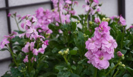 ストックの花が冬に咲きました 〜8月のタネまき後 八重鑑別から開花までの経過〜