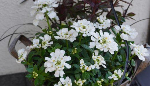 イベリス スノーボールの特長と白い花がきわ立つシックな寄せ植えの紹介