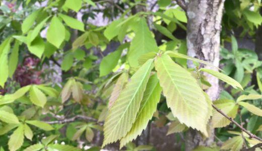 和風の自然な庭に合う植物 落葉樹の新芽(4月)