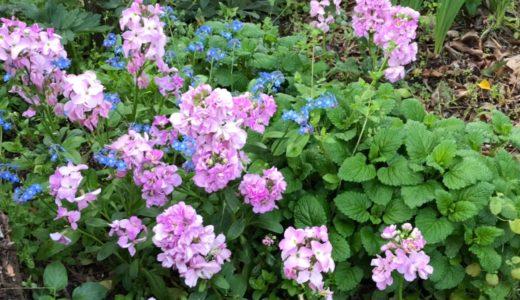 8月に種まきしたストックの花は冬から春まで長く楽しめる