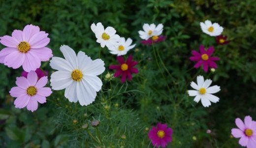 8月に種まきしたコスモスを鉢に寄せ植えにして小さな秋を楽しむ