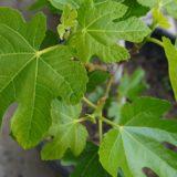 イチジクの鉢栽培 イチジクを取り木(枝伏せ法)して苗を鉢植えにするまで
