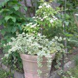常緑ヤマボウシを挿し木して3年 大鉢に定植して6月は花がいっぱい