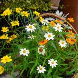 夏の寄せ植え〜黄色系百日草の種をまいて元気が出る自然風なカゴ作り〜