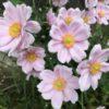 シュウメイギクを地植えで育てる栽培のポイント