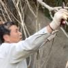 ムクゲの自然風剪定に挑戦! 強剪定の時期と剪定の仕方