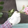 バラの挿し木にバラの初心者が挑戦してみた