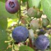 庭に植えたブルーベリーの収穫と庭木におすすめのポイント